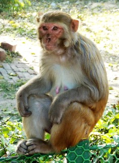 Macaque monkey.