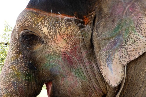 Elephants are painted for festivals. Don't worry, it's all non-toxic! I think Festival was getting ideas for new decorations.