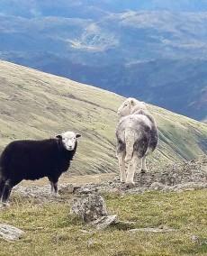 Nice to see you ewe.